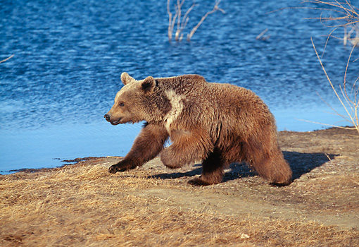 BEA 03 GL0001 01 © Kimball Stock Grizzly Bear Walking Along Water