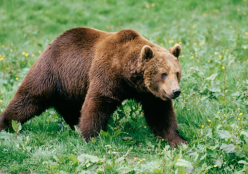 BEA 03 GL0003 01 © Kimball Stock Grizzly Bear Walking In Grass