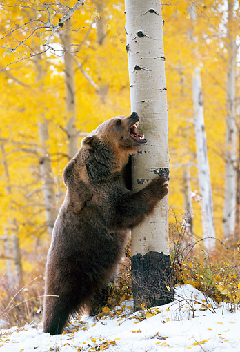 BEA 03 KH0014 01 © Kimball Stock Grizzly Bear Leaning Against Tree Growling