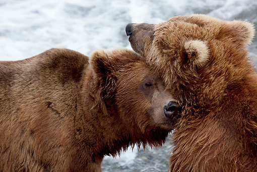 BEA 03 LS0002 01 © Kimball Stock Close-Up Of Two Grizzly Bears Nuzzling By Stream Alaska