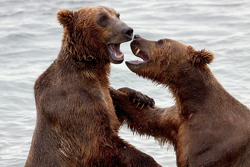 BEA 03 LS0003 01 © Kimball Stock Close-Up Of Two Grizzly Bears Play Fighting In Stream Alaska