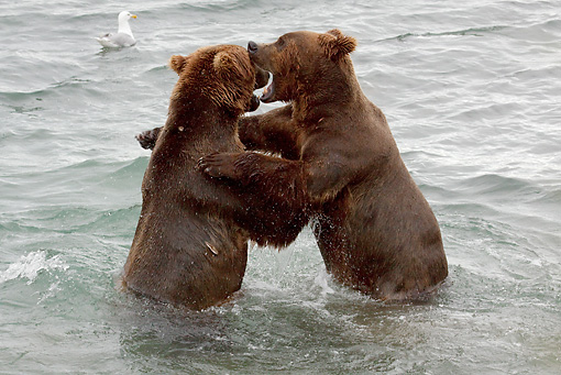 BEA 03 LS0004 01 © Kimball Stock Two Grizzly Bears Play Fighting In Stream Alaska
