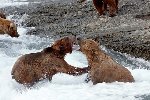 BEA 03 LS0005 01 © Kimball Stock Two Grizzly Bears Play Fighting In Stream Alaska