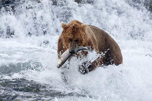 BEA 03 LS0006 01 © Kimball Stock Grizzly Bear With Salmon In Mouth In Stream Alaska