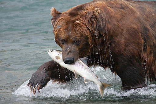 BEA 03 LS0007 01 © Kimball Stock Close-Up Of Grizzly Bear With Salmon In Mouth In Stream Alaska
