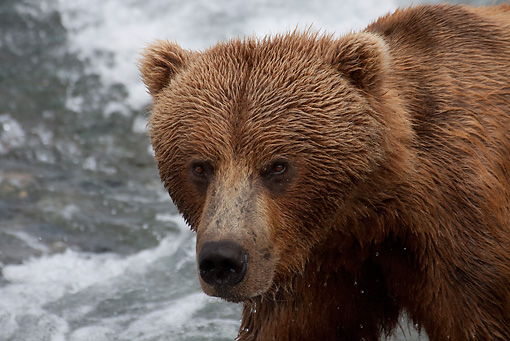 BEA 03 LS0008 01 © Kimball Stock Head Shot Of Grizzly Bear Walking In Stream Alaska