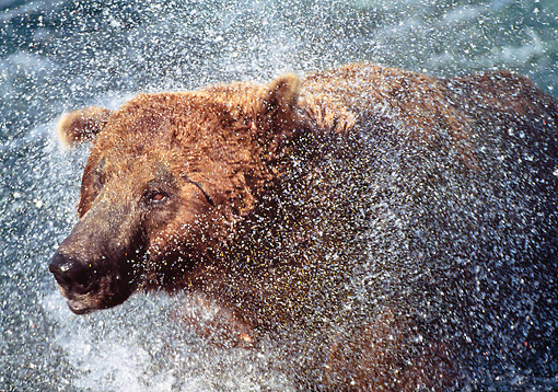 BEA 03 LS0009 01 © Kimball Stock Close-Up Of Grizzly Bear Shaking Off Water Katmai National Park, Alaska
