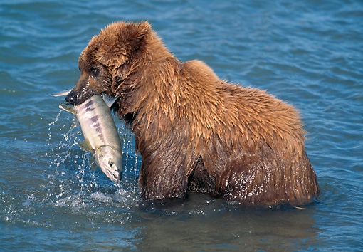 BEA 03 LS0010 01 © Kimball Stock Grizzly Bear Cub With Salmon In McNeil River, Alaska