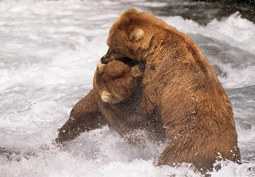 BEA 03 LS0011 01 © Kimball Stock Two Grizzly Bears Fighting In Stream, Alaska