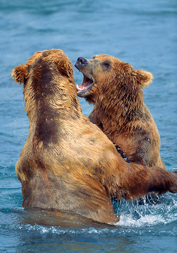 BEA 03 LS0012 01 © Kimball Stock Two Grizzly Bears Play Fighting In Stream, Alaska