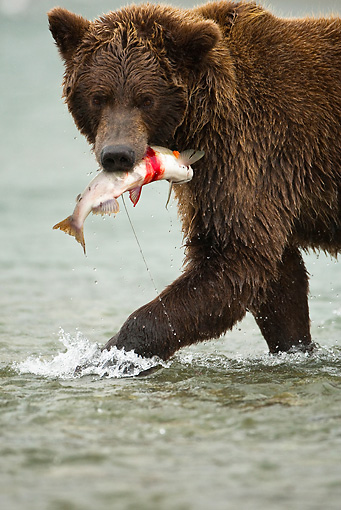 BEA 03 MC0001 01 © Kimball Stock Close-Up Of Grizzly Bear Eating Salmon In River