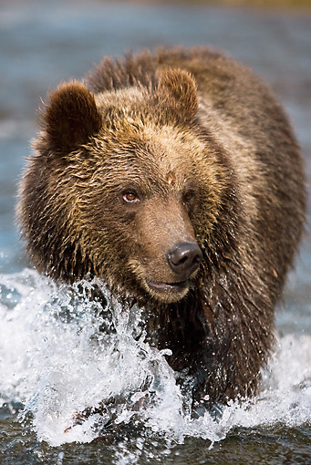 BEA 03 MC0002 01 © Kimball Stock Close-Up Of Grizzly Bear Splashing Through River