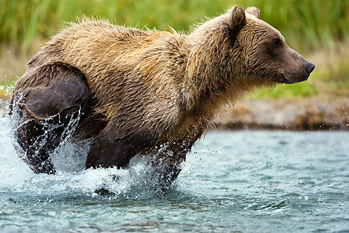 BEA 03 MC0007 01 © Kimball Stock Grizzly Bear Chasing Pink Salmon In Tidal Creek
