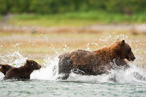 BEA 03 MC0008 01 © Kimball Stock Grizzly Bear Sow With Cub Chasing Pink Salmon In Tidal Creek