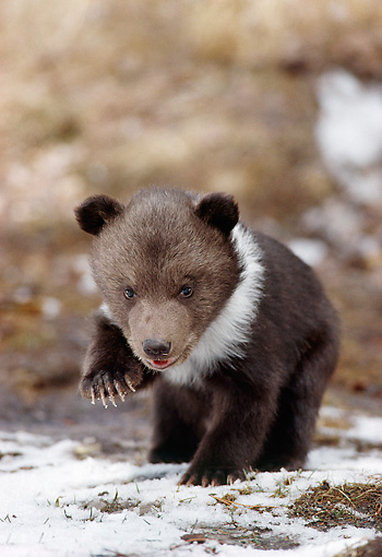BEA 03 MC0009 01 © Kimball Stock Grizzly Bear Cub Walking On Snow