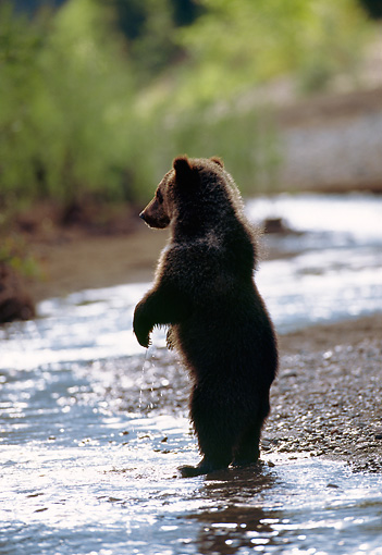 BEA 03 MC0011 01 © Kimball Stock Grizzly Bear Cub Standing Up On Hind Legs In River