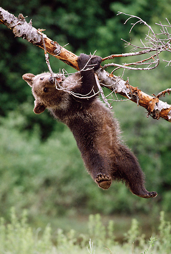 BEA 03 MC0013 01 © Kimball Stock Grizzly Bear Cub Hanging On Tree Montana