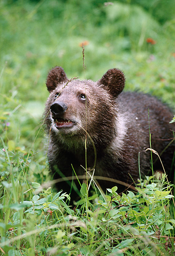 BEA 03 MC0014 01 © Kimball Stock Portrait Of Grizzly Bear Cub Standing In Grass Montana