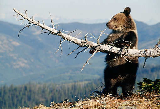 BEA 03 MC0015 01 © Kimball Stock Grizzly Bear Cub Playing With Fallen Tree Branch Montana