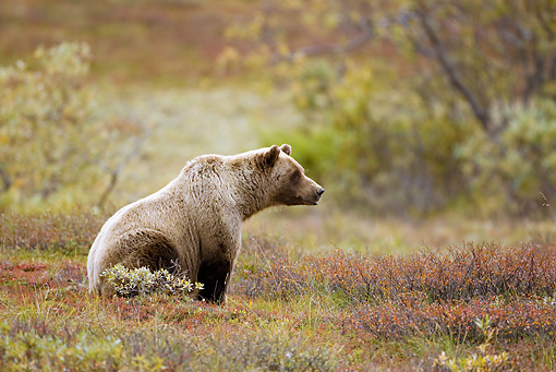 BEA 03 MC0017 01 © Kimball Stock Grizzly Bear Sitting On Grass In Forest