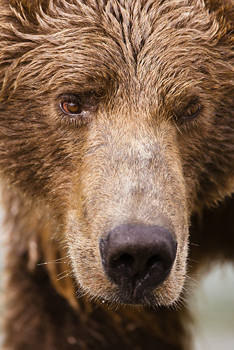 BEA 03 MC0018 01 © Kimball Stock Head Shot Of Grizzly Bear In Spawning River Katmai National Park