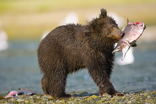 BEA 03 MC0019 01 © Kimball Stock Grizzly Bear Cub Holding Pink Salmon In Spawning River Katmai National Park