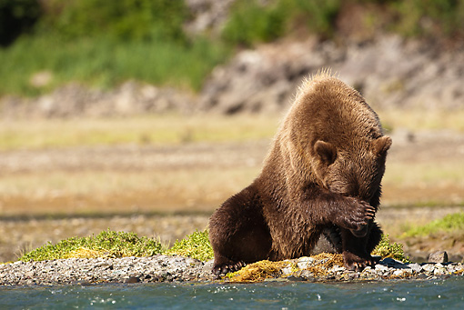 BEA 03 MC0021 01 © Kimball Stock Grizzly Bear Fishing For Salmon In Coastal Creek Alaska