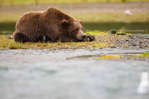 BEA 03 MC0022 01 © Kimball Stock Grizzly Bear Fishing For Salmon In Coastal Creek Alaska
