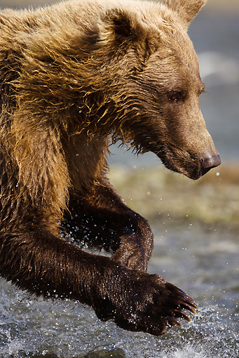 BEA 03 MC0023 01 © Kimball Stock Close-Up Of Grizzly Bear Fishing For Salmon In Coastal Creek Alaska