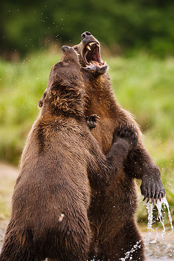 BEA 03 MC0024 01 © Kimball Stock Close-Up Of Grizzly Bears Wrestling Along River Alaska