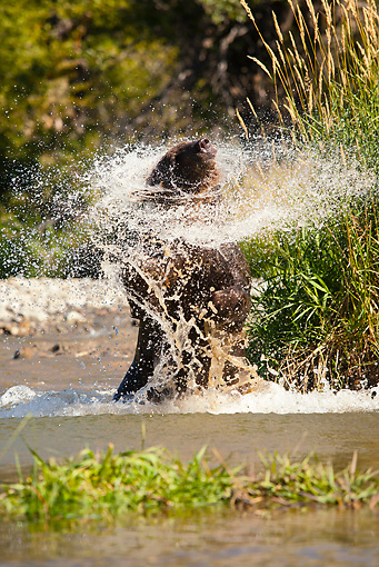 BEA 03 MC0025 01 © Kimball Stock Grizzly Bear Shaking Off Water In River Montana