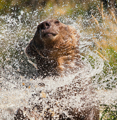 BEA 03 MC0026 01 © Kimball Stock Close-Up Of Grizzly Bear Shaking Off Water In River Montana