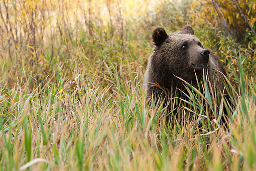 BEA 03 MC0027 01 © Kimball Stock Grizzly Bear Standing In Tall Grass Yellowstone National Park