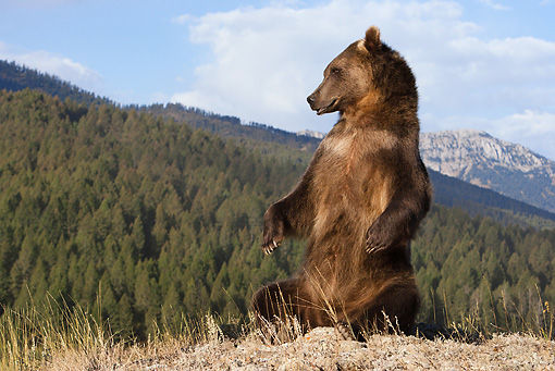 BEA 03 MC0028 01 © Kimball Stock Grizzly Bear Sitting Upright In Grassy Mountains Yellowstone National Park