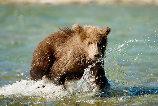 BEA 03 MC0029 01 © Kimball Stock Grizzly Bear Cub Walking In Stream Alaska