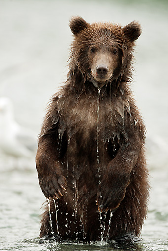 BEA 03 MC0031 01 © Kimball Stock Young Grizzly Bear Standing Upright In Stream Alaska