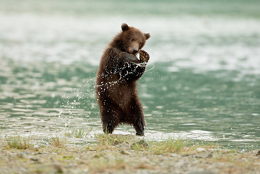 BEA 03 MC0032 01 © Kimball Stock Grizzly Bear Cub Playing In Shallow Water Alaska