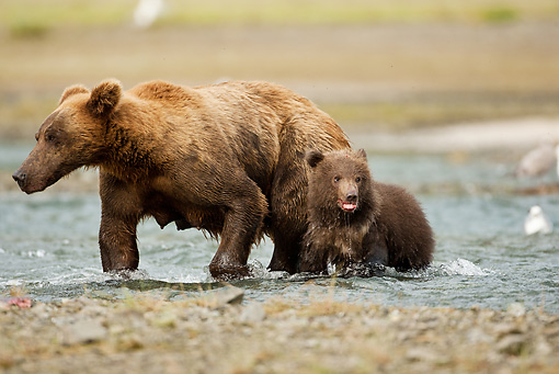 BEA 03 MC0033 01 © Kimball Stock Grizzly Bear Mother And Cub Fishing In Stream Alaska