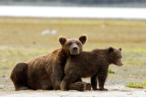 BEA 03 MC0034 01 © Kimball Stock Grizzly Bear Mother And Cub Resting By Stream Alaska