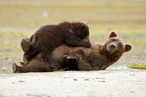 BEA 03 MC0035 01 © Kimball Stock Grizzly Bear Mother Nursing Cub On Beach Alaska