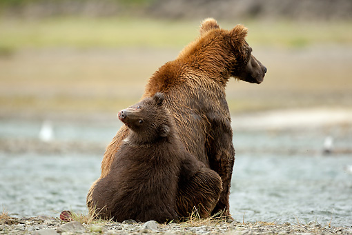 BEA 03 MC0036 01 © Kimball Stock Back View Of Grizzly Bear Mother And Cub Sitting By Stream Alaska