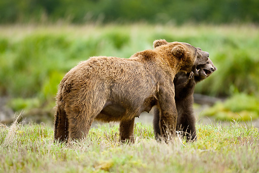 BEA 03 MC0037 01 © Kimball Stock Grizzly Bear Mother And Cub Playing In Grass Alaska