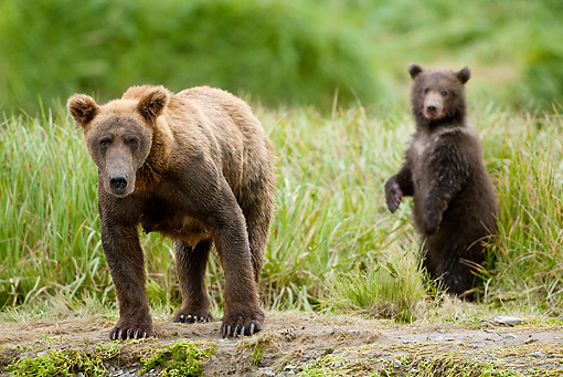 BEA 03 MC0038 01 © Kimball Stock Grizzly Bear Mother And Cub Standing In Tall Grass Alaska