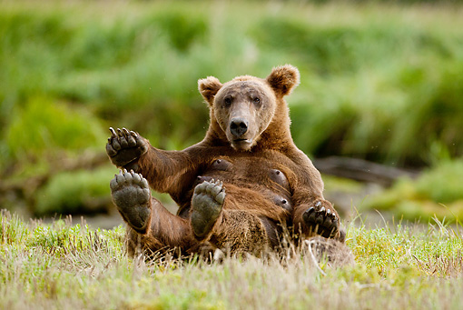 BEA 03 MC0039 01 © Kimball Stock Grizzly Bear Sow Laying On Back In Grass Alaska