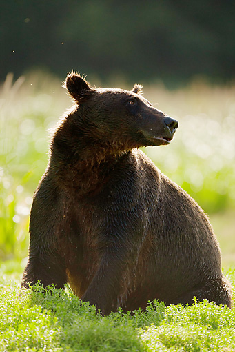 BEA 03 MC0042 01 © Kimball Stock Silhouette Of Grizzly Bear Sow Sitting On Grass Alaska