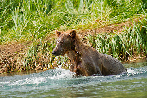 BEA 03 MC0044 01 © Kimball Stock Grizzly Bear Sow Fishing In Geographic Harbor, Katmai National Park, Alaska