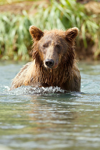 BEA 03 MC0045 01 © Kimball Stock Grizzly Bear Sow Fishing In Geographic Harbor, Katmai National Park, Alaska