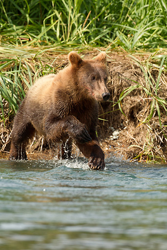 BEA 03 MC0046 01 © Kimball Stock Grizzly Bear Cub Running To Mother In Geographic Harbor, Katmai National Park, Alaska