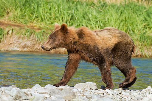 BEA 03 MC0047 01 © Kimball Stock Grizzly Bear Cub Walking Along Geographic Harbor, Katmai National Park, Alaska