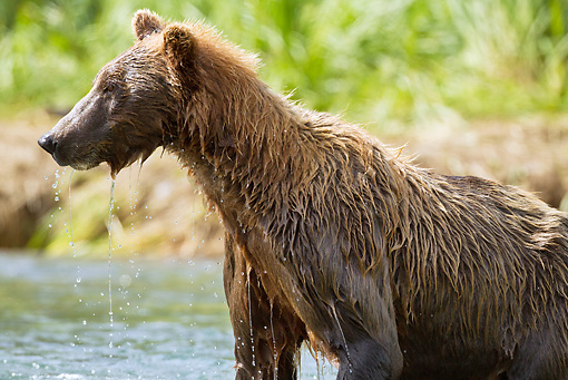BEA 03 MC0048 01 © Kimball Stock Grizzly Bear Sow Fishing In Geographic Harbor, Katmai National Park, Alaska